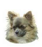 Long Hair Chihuahua Stickers