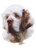 Clumber Spaniel Stickers