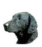 Curly-Coated Retriever Stickers
