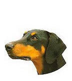 Doberman with Natural Ears Stickers