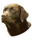 Chocolate Labrador Stickers