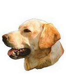 Yellow Labrador Stickers