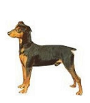 Miniature Pinscher Stickers
