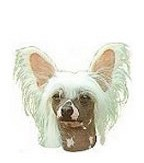 Chinese Crested Full Color Vinyl Sticker