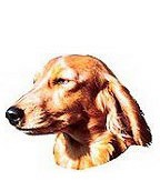 Long Hair Dachshund Full Color Vinyl Sticker