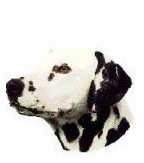 Dalmatian Full Color Vinyl Sticker